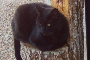 Disappearance alert Cat Male , 10 years Les Avenières Veyrins-Thuellin France