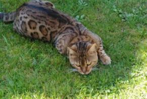Disappearance alert Cat  Male , 5 years Colomiers France