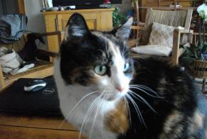 Disappearance alert Cat miscegenation Female , 16 years Beaucourt France