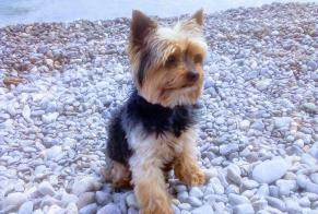 Disappearance alert Dog  Male , 12 years Saint-Antoine-de-Breuilh France