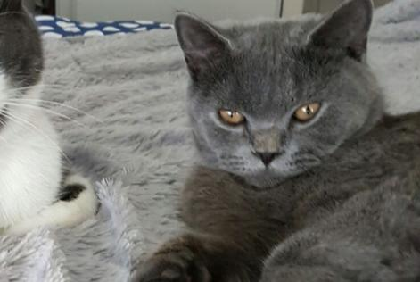 Alerte Disparition Chat British shorthair Mâle , 1 ans Ferney-Voltaire France