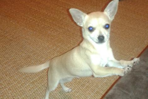 Alerte Disparition Chien CHIHUAHUA Femelle , 2 ans Herblay France