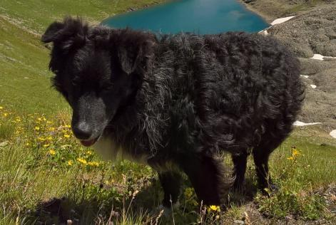 Alerte Disparition Chien border collie Mâle , 7 ans Lançon-Provence France