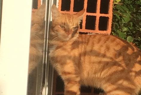 Alerte Disparition Chat Mâle , 6 ans Mazères France