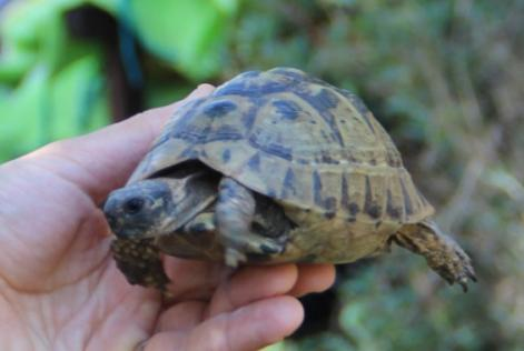 Alerte Disparition Tortue Femelle Muret France