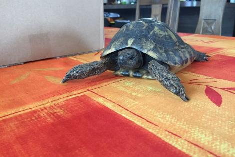 Alerte Disparition Tortue Mâle Sciez France