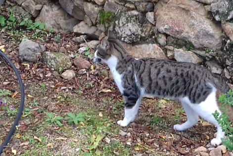 Alerte Disparition Chat Mâle , 1 ans Aregno France