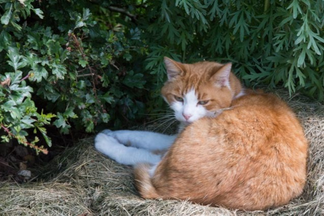 Alerte Disparition Chat Mâle , 18 ans Plouay France
