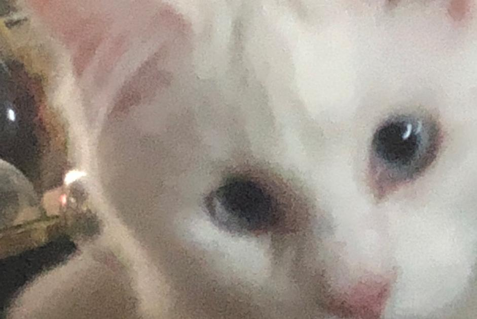 Alerte Disparition Chat  Femelle , 2 ans Meyzieu France