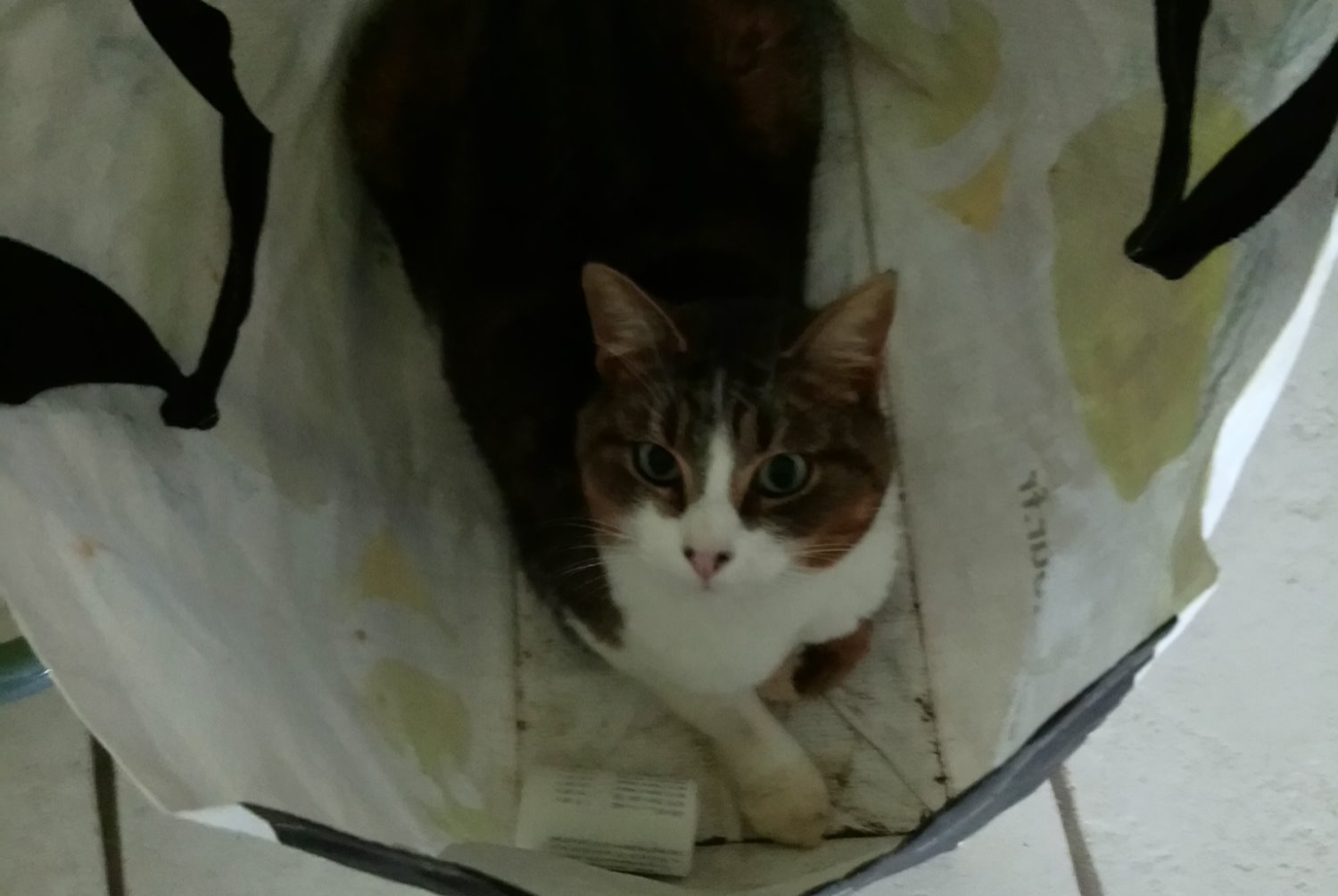 Alerte Disparition Chat Mâle , 2 ans Mercey-le-Grand France