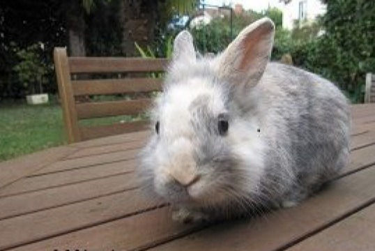 Alerte Disparition Lapin Mâle Mâcon France