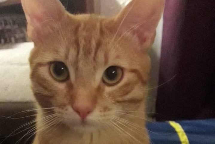 Alerte Disparition Chat Mâle , 1 ans Wintzenheim France