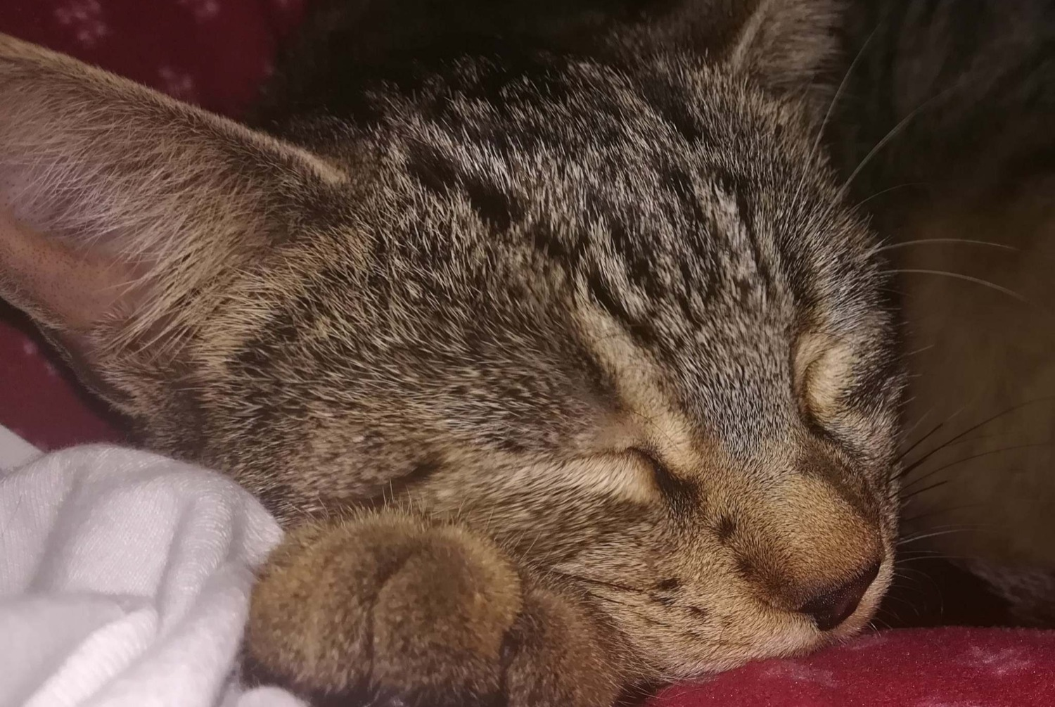 Alerte Disparition Chat  Femelle , 1 ans Kédange-sur-Canner France