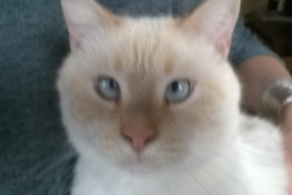 Alerte Disparition Chat  Mâle , 10 ans Bagnols-sur-Cèze France