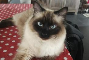 Alerte Disparition Chat  Mâle , 1 ans Lissieu France