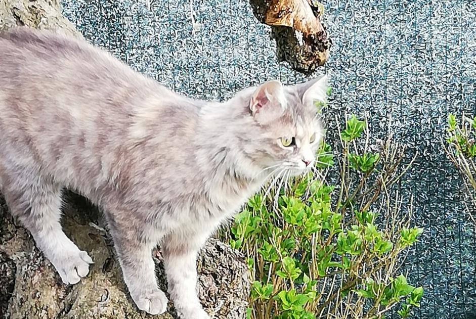 Alerte Disparition Chat Femelle , 2 ans Sancy France