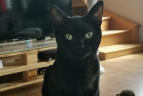 Alerte Disparition Chat Femelle , 1 ans Ardres France