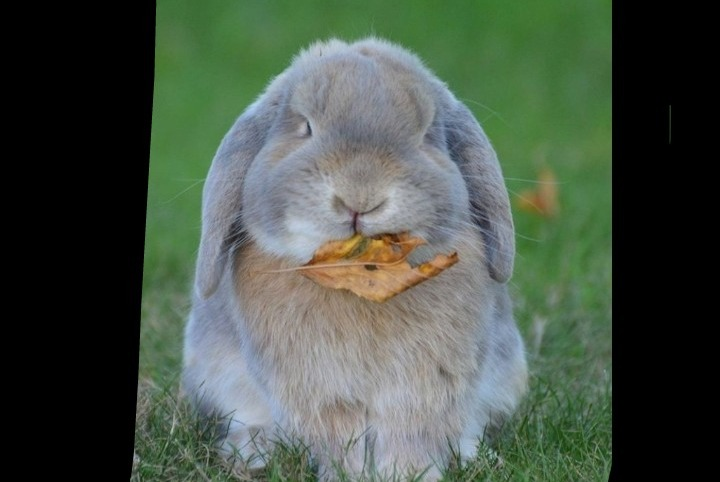Alerte Disparition Lapin Mâle Les Herbiers France