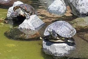Alerte Disparition Tortue Mâle Mertzwiller France