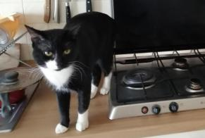 Alerte Disparition Chat Mâle , 1 ans Grenoble France